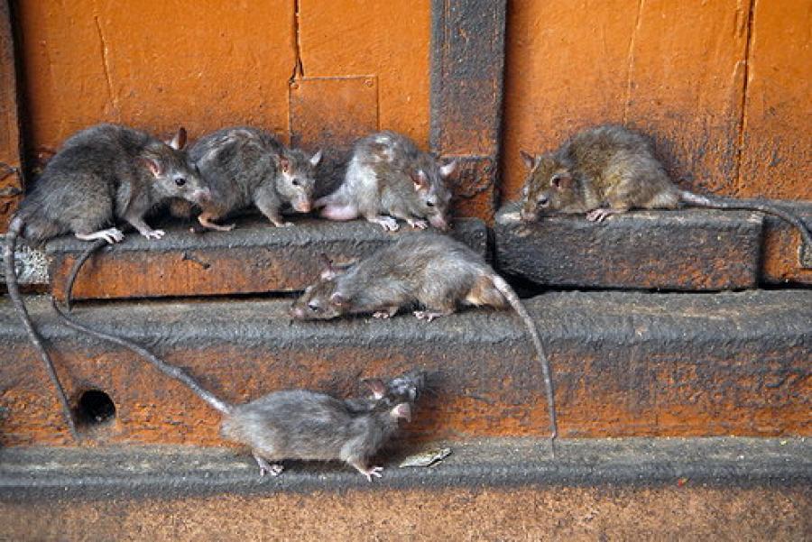 Способы уничтожения крыс