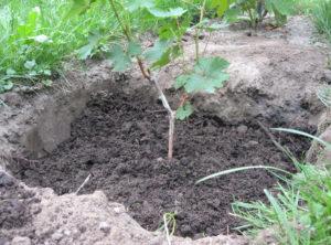 Виноград амурский: краткая история вида