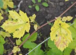 Виноград уход. Листочки желтые, нижняя стороны листа белесая