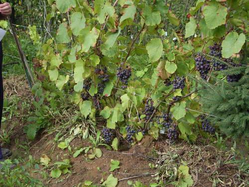 Виноградник по методу насыпей (брустверов)
